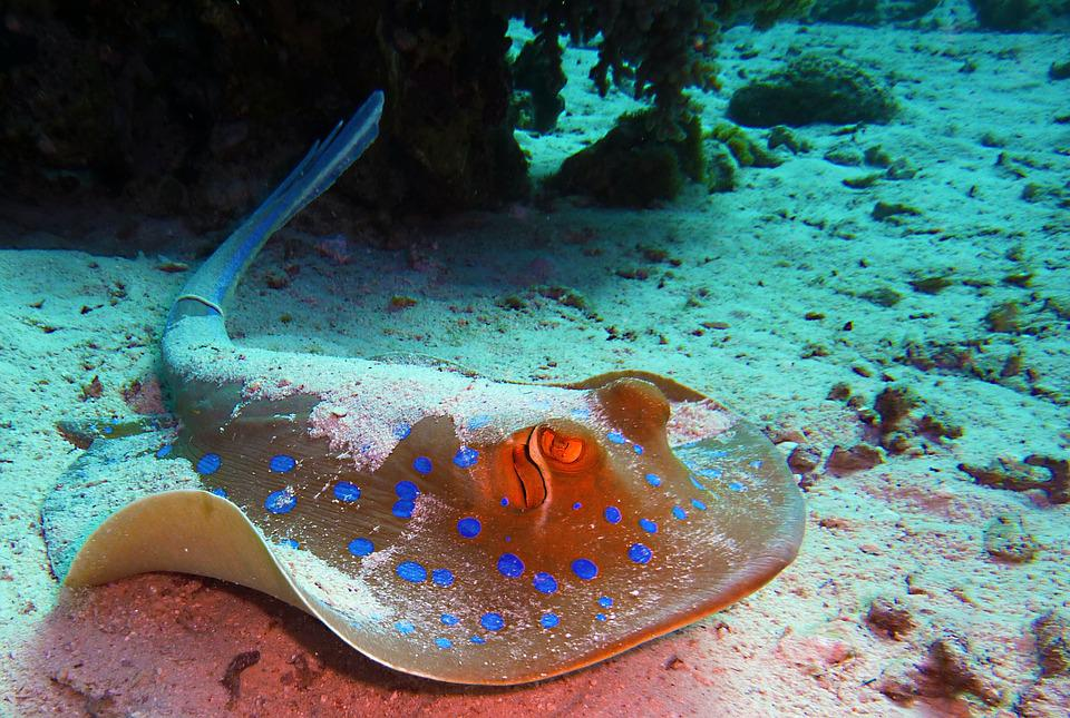 Blue Spotted Stingrays, Rays, Diving, Underwater, Water
