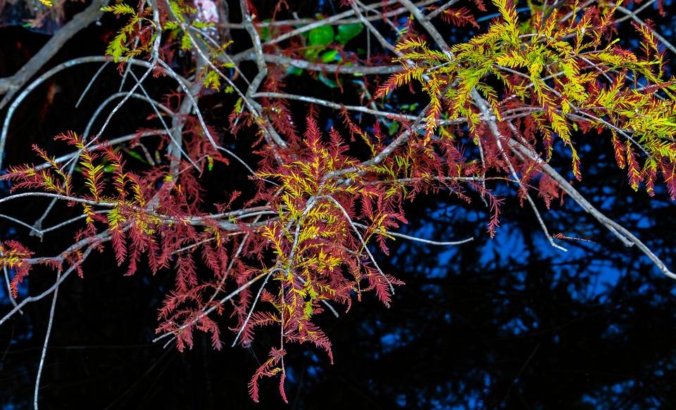 Baldcypress, Mirroring, Water Reflection, Branch