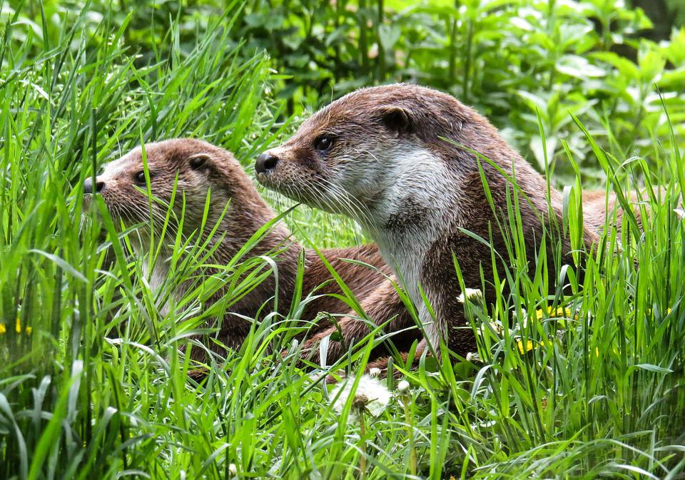 Otter, Animals, Water, Meadow, Care, Rest, Wild