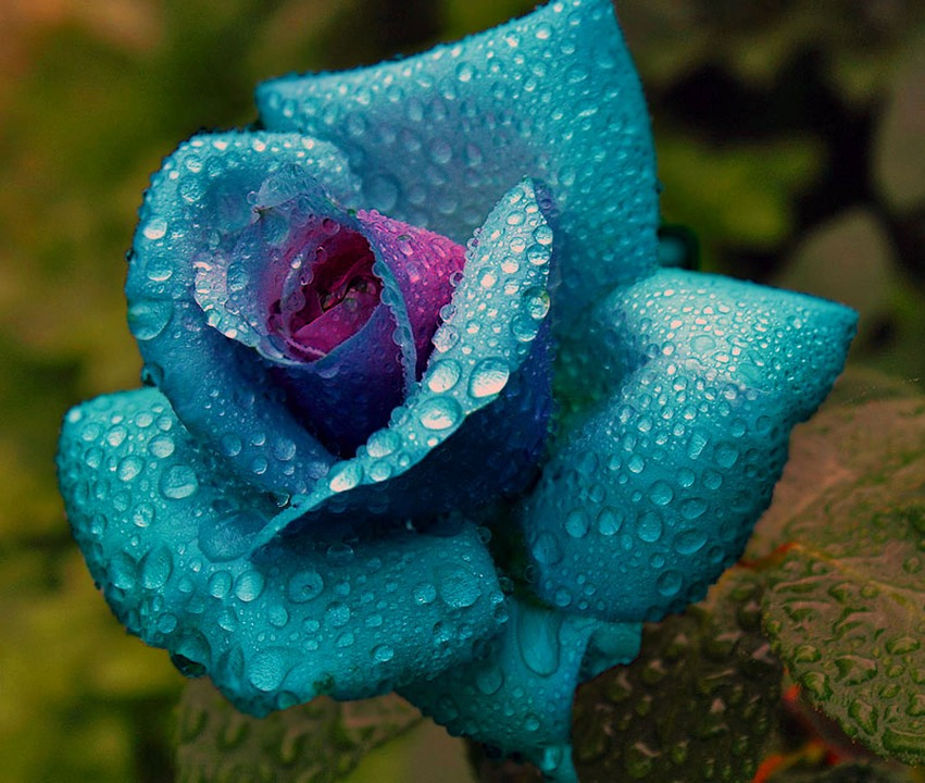 Colored, Rose, Water, Drip, Flower