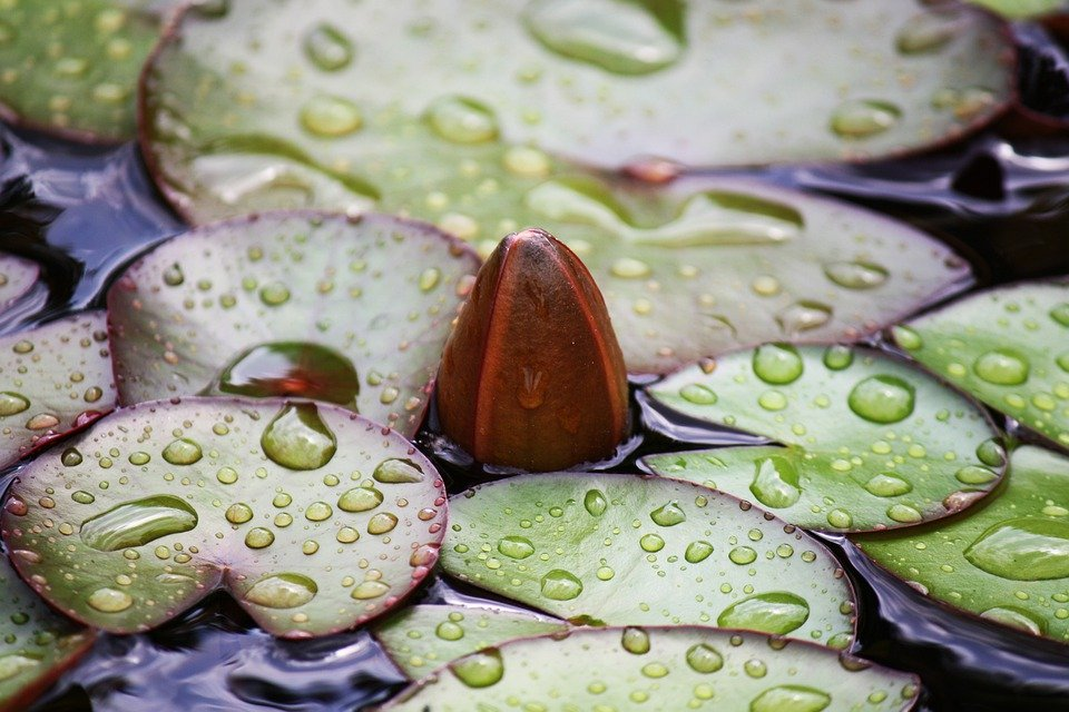 Water Rose, Lotus, Lotus Blossom, Water Lily