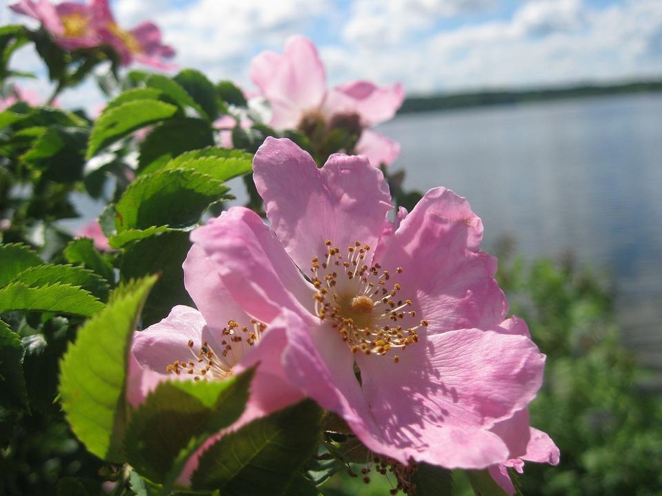 Rose Hip, Lake, Pink, Nature, Flower, Water, Roses