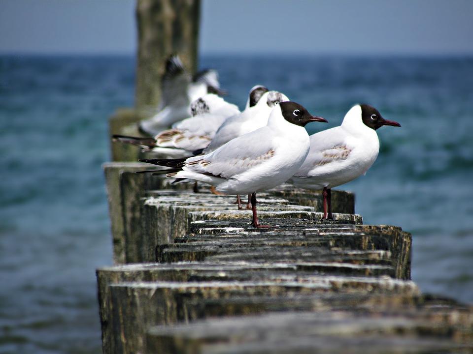Seagull, Sea, The Seagulls, Bird, Water, Nature