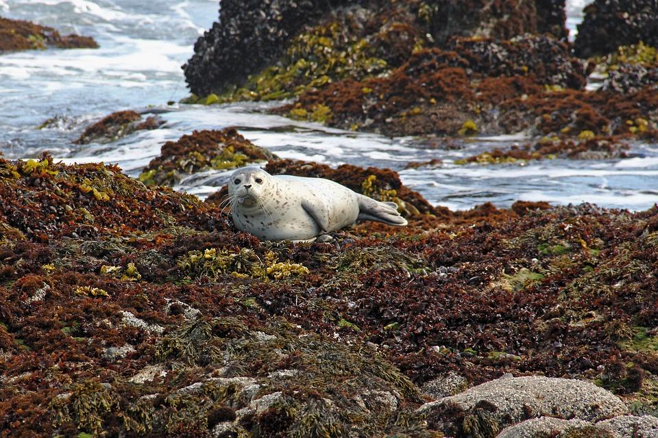 Harbor, Harbor Seals, Seal, Seals, Coast, Water, Sea