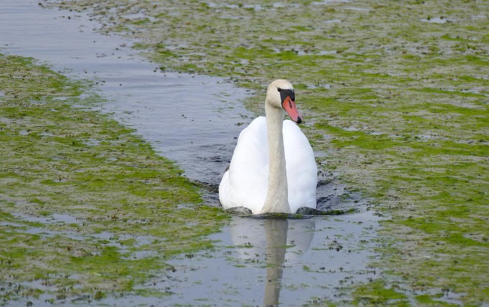 Swan, Spring Lake, Autumn, Water, Nature Reserve