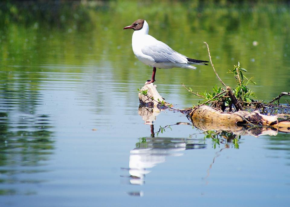 Seagull, Water, Nature, Summer, Bird, River