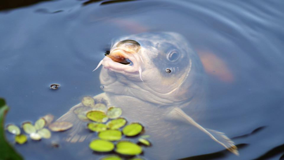 Carp, Koi, Fish, Water, Pond, Water Surface, Koi Carp