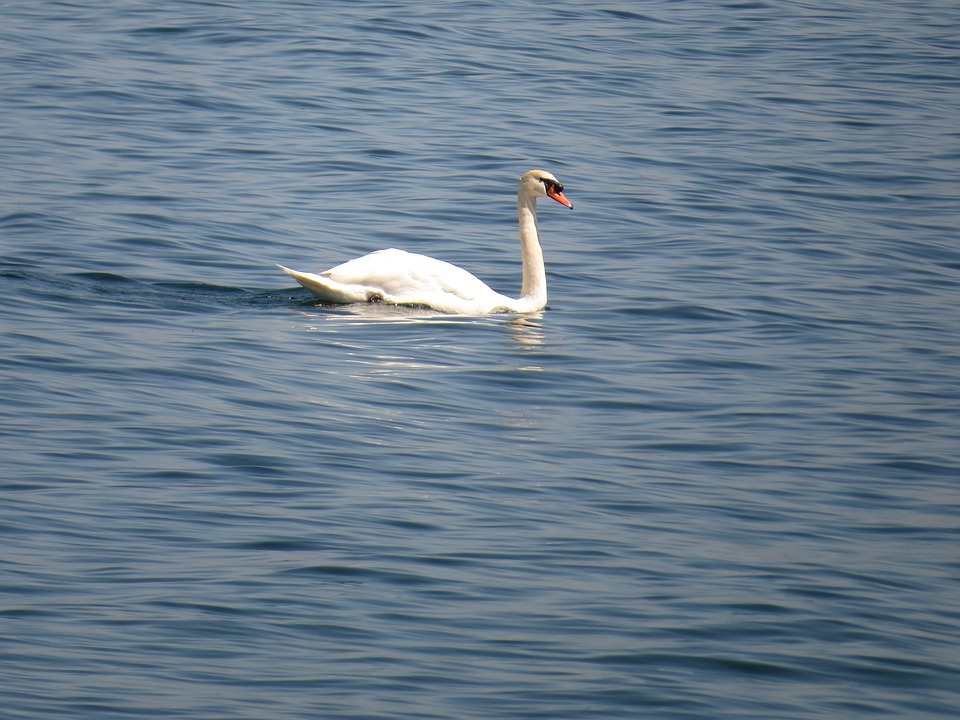 Swan, Water, Swim, White