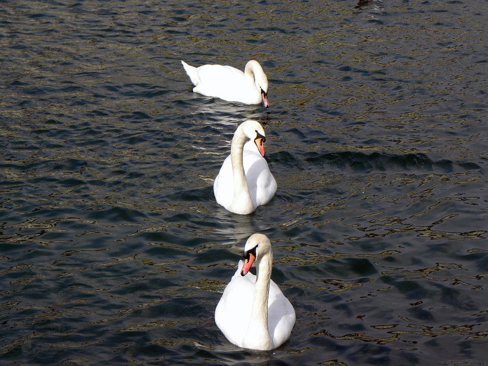 Swans, Lake, Water, Zurich