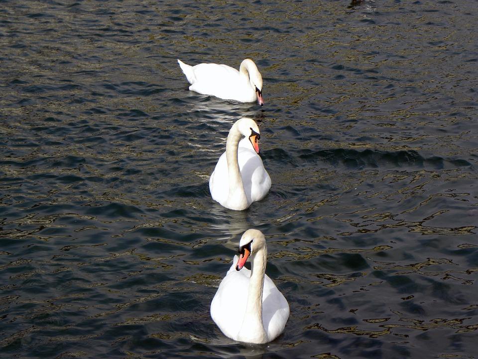 Swans, Lake, Water, Zurich