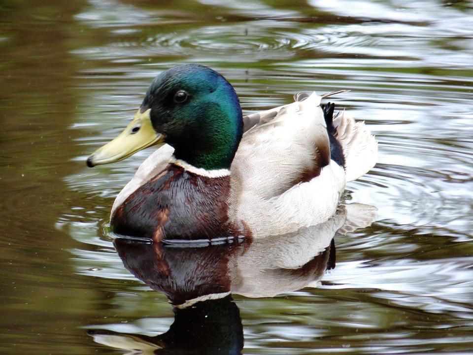 Duck, Water, Animal, Swim, Lake