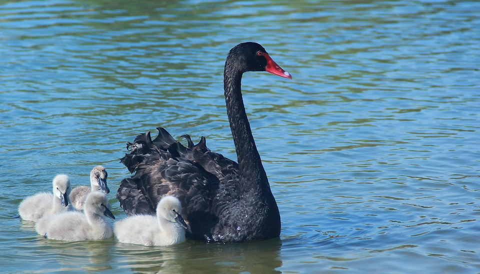 Water, Swan, Bird, Lake, Swimming, Black Swan, River