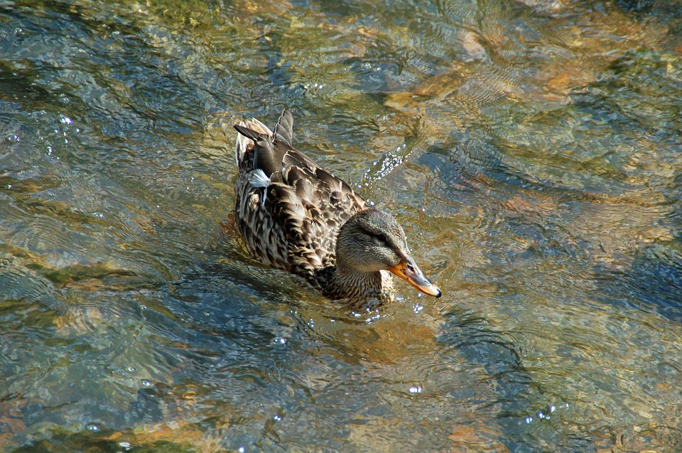 Duck, Brown, Female, Water, Swimming, Water Birds