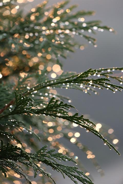 Summer, Plant, Thuja, Drops, Water, Light