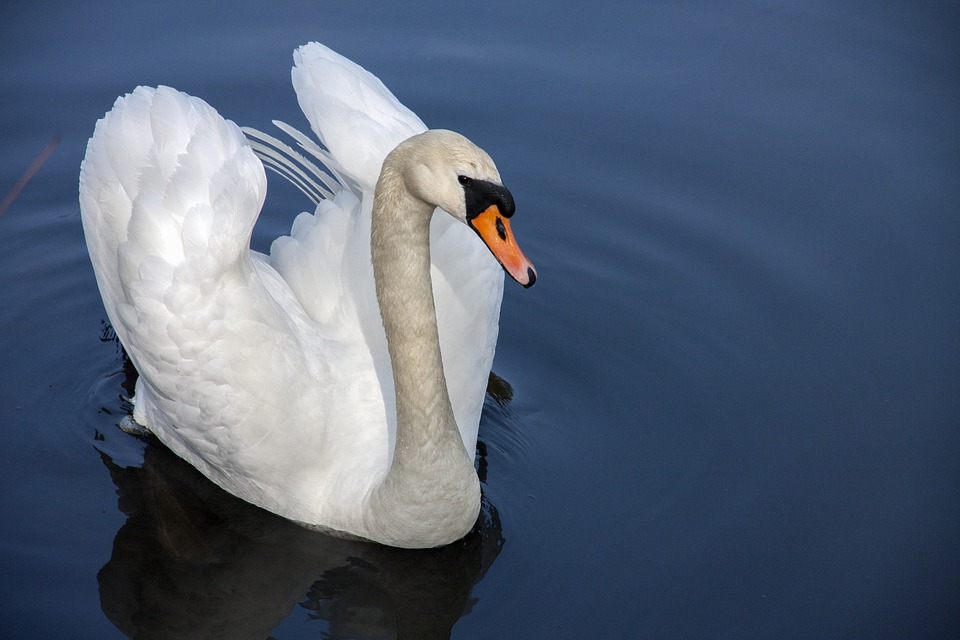 Swan, Water Bird, Nature, Water