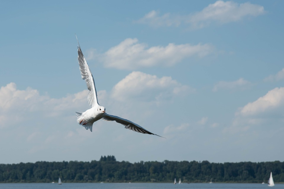 Seagull, Bird, Water Bird, Nature, Animal, Water, Fly
