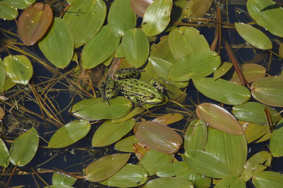 Pond, Water Lilies, Frog, Water, Aquatic Plant