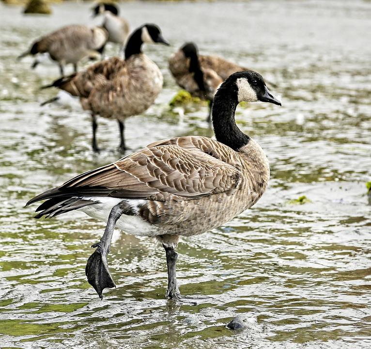 Geese, Birds, Waterfowls, Animals, Water, Water Birds