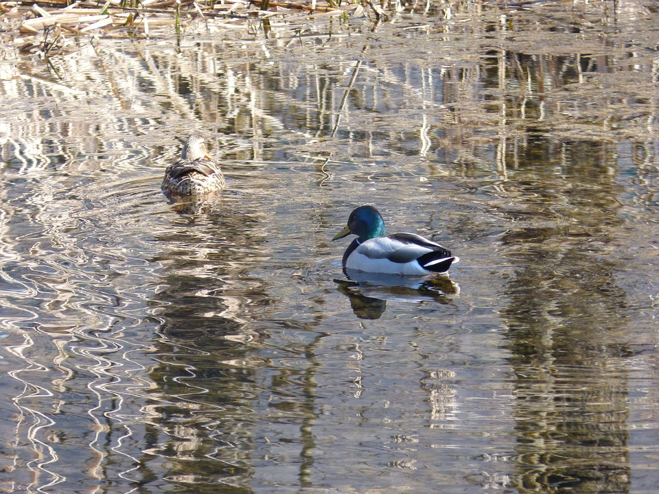 Mallards, Ducks, Water, Reed, Mirroring, Rush, Waters