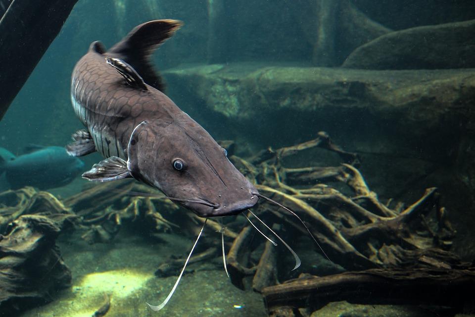 Wels, Fish, Predatory Fish, Animal, Water, Scale