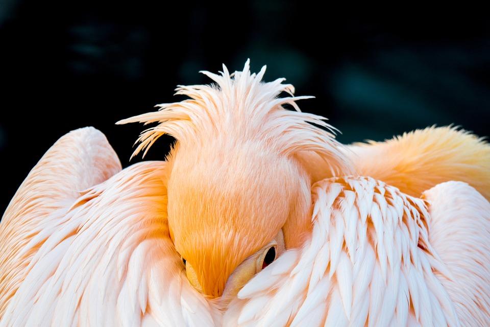 Pelican, Bird, Nature, Animal, Water, Wildlife, White