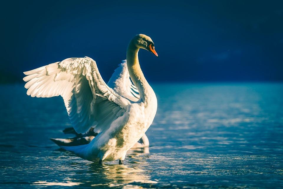 Swan, Bird, Wildlife, Lake, Water, Beautiful, Nature