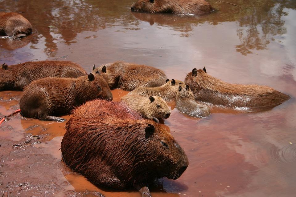 Wildlife, Mammal, Water, Nature, Outdoors, Capybara
