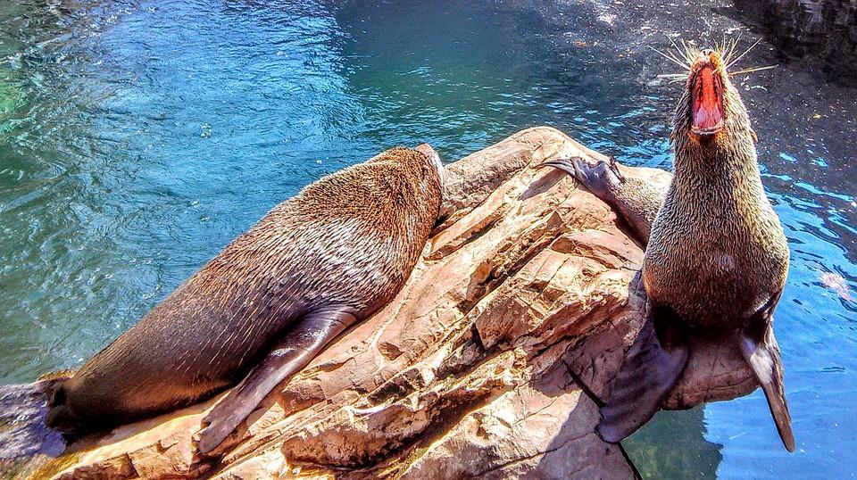 Seal, Wildlife, Roar, Water, Rock