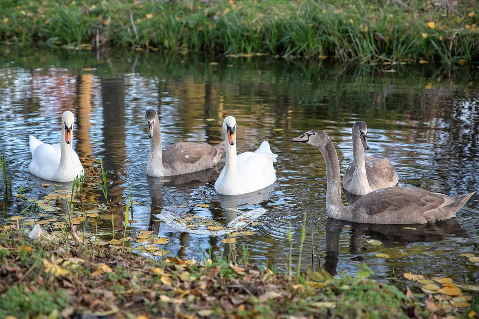 Swan, Swans, Young Swans, Ditch, Waterfowl, Water