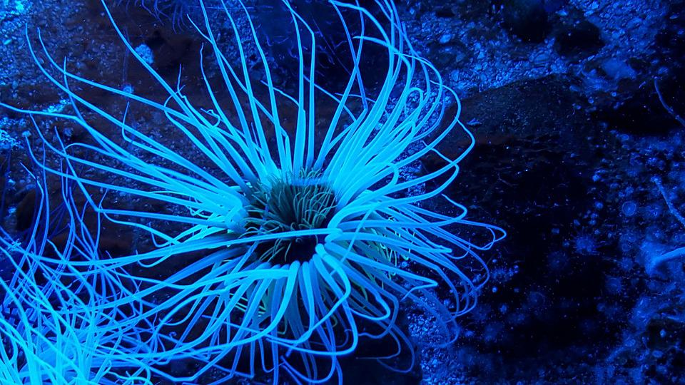 Sea Anemone, Aquarium, Ocean, Animal, Water-dwelling