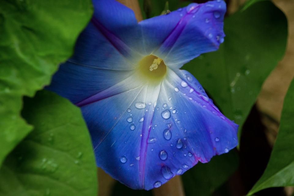 Flower, Blue, Waterdrop, Nature, Bloom, Blossom, Plant