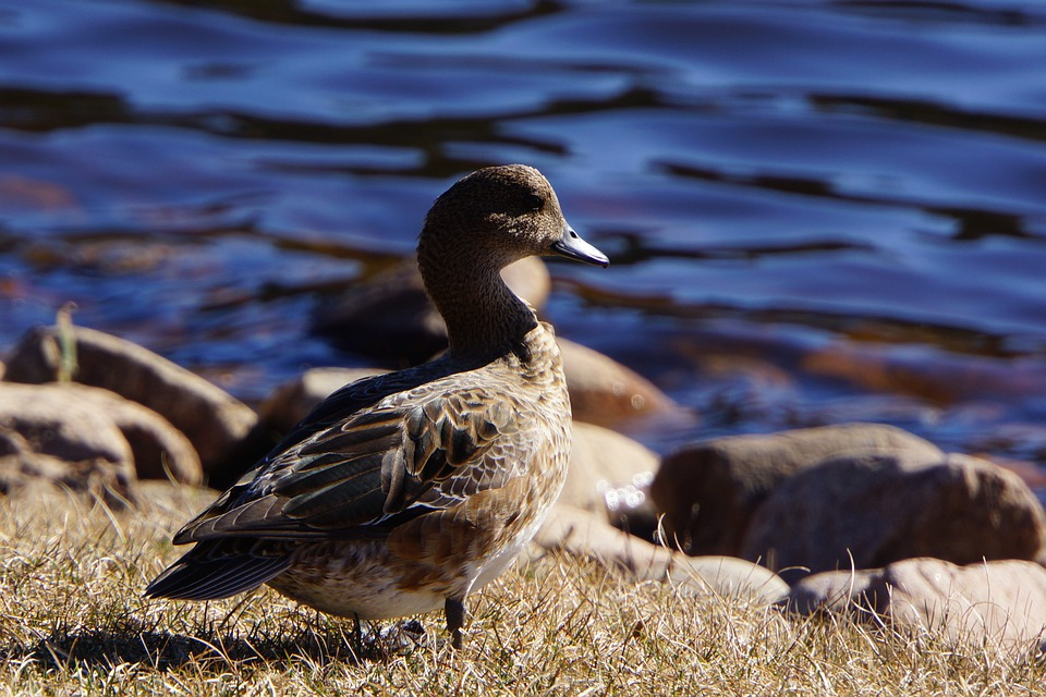 Gadwall, Anas Strepera, Waterfowl, Duck