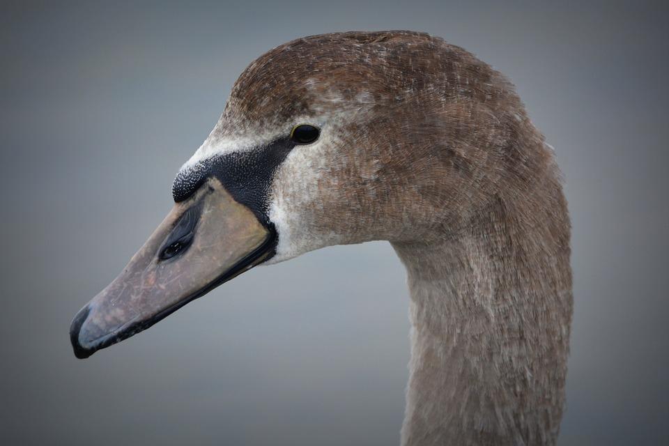 Swan, Beak, Animal, Nature, Whooper Swan, Waterfowl
