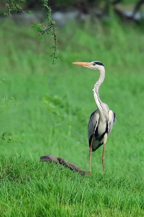 Heron, Bird, Grass, Waterfowl, Water Bird, Long Neck