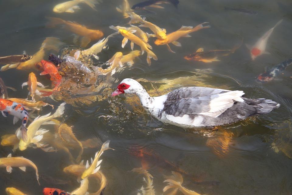 Muscovy Duck, Bird, Pond, Duck, Waterfowl, Water Bird