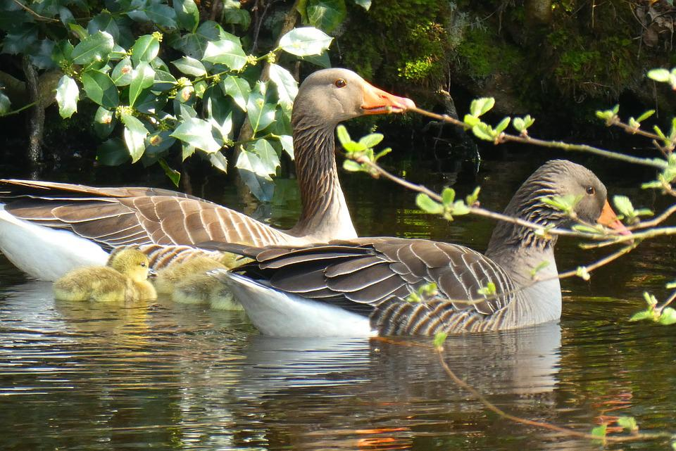 Geese, Chicks, Spring, Swimming, Protection, Waterfowl