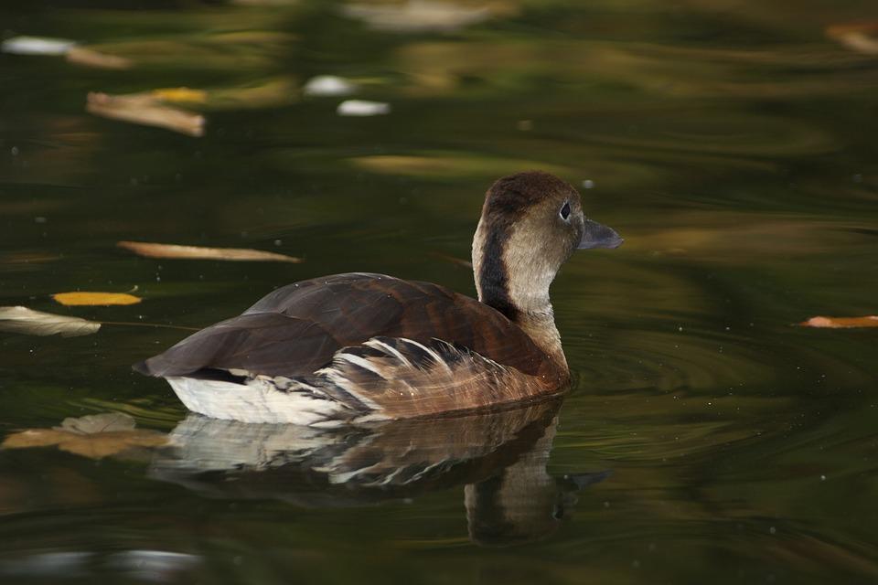 Duck, Water, Fauna, Pond, Waterfowl