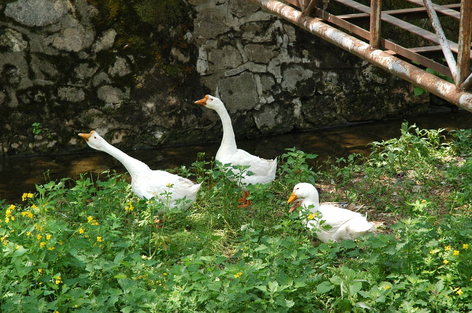 Duck, Geese, Poultry, Farm, Bird, Waterfowl, White