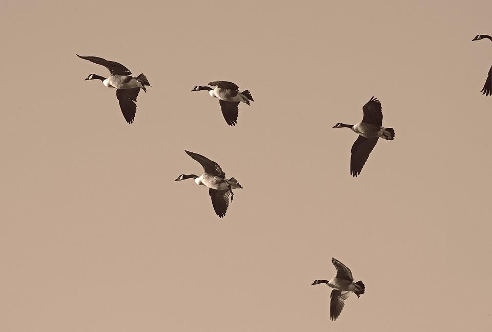 Geese, Migration, Migrate, Flock, Migratory, Waterfowl