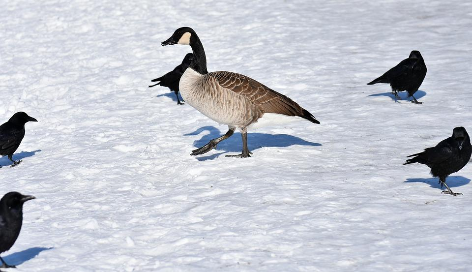 Goose, Dig, Crow, Corvidae, Waterfowl, Poultry, Snow