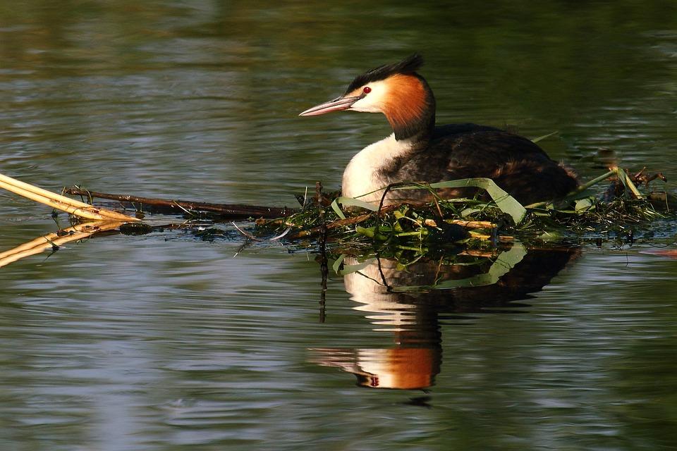 Grebe, Bird, Waterfowl, Great Crested Grebe, Birds