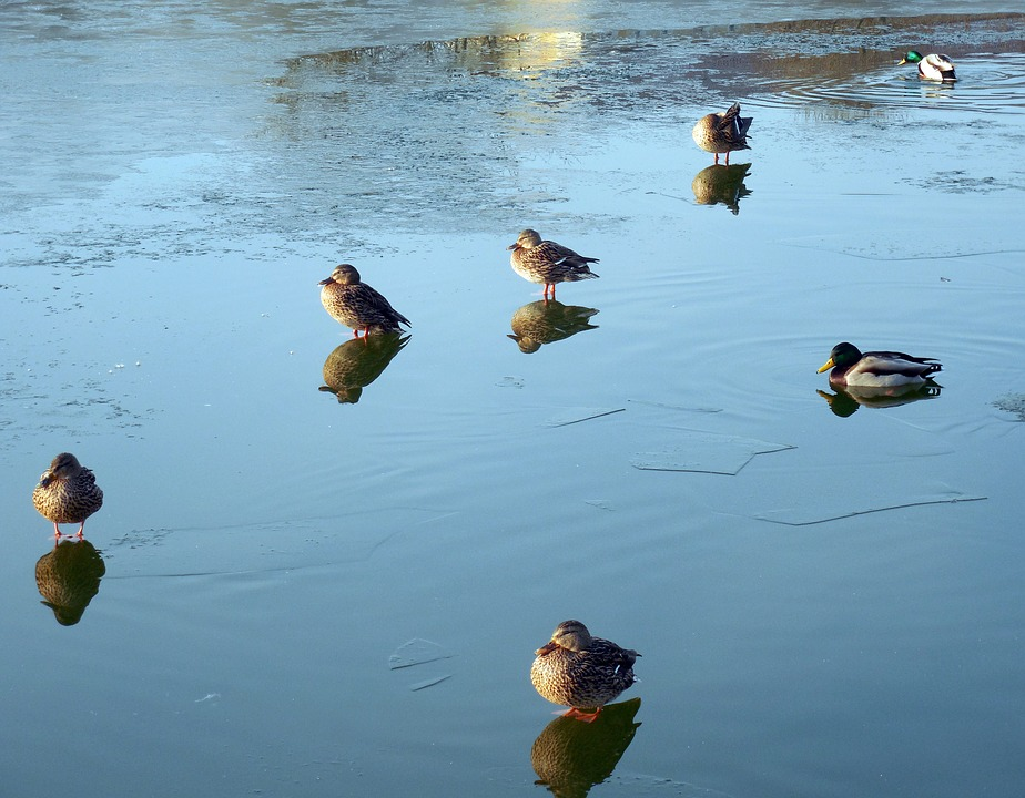 Ducks, Waterfowl, Lake, Pond, Waters, Ice, Winter