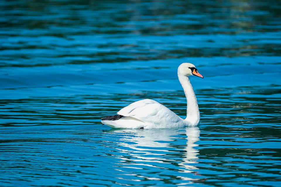 Swan, Water Bird, Lake, White Swan, Waterfowl, Feathers