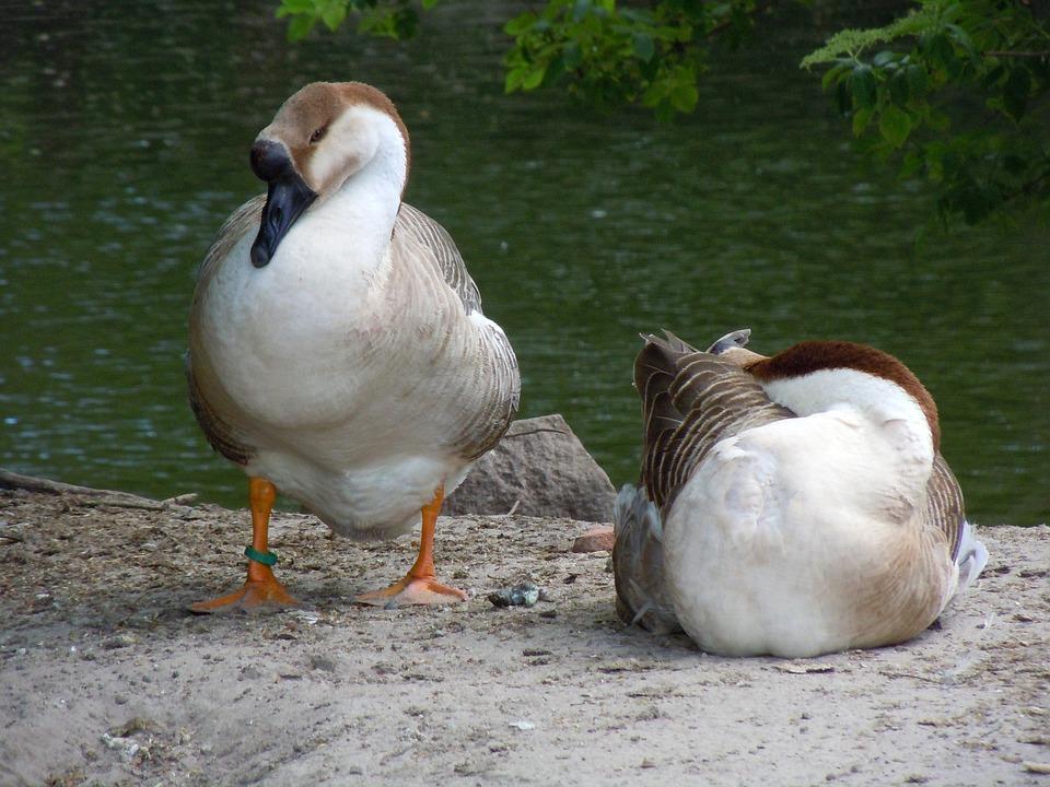 Poultry, Ducks, Waterfowl