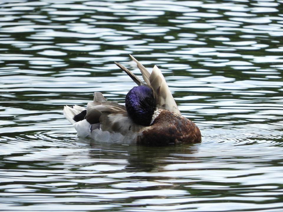 Waterfowl, Duck Bird, Aquatic Animal, Spring Care, Lake