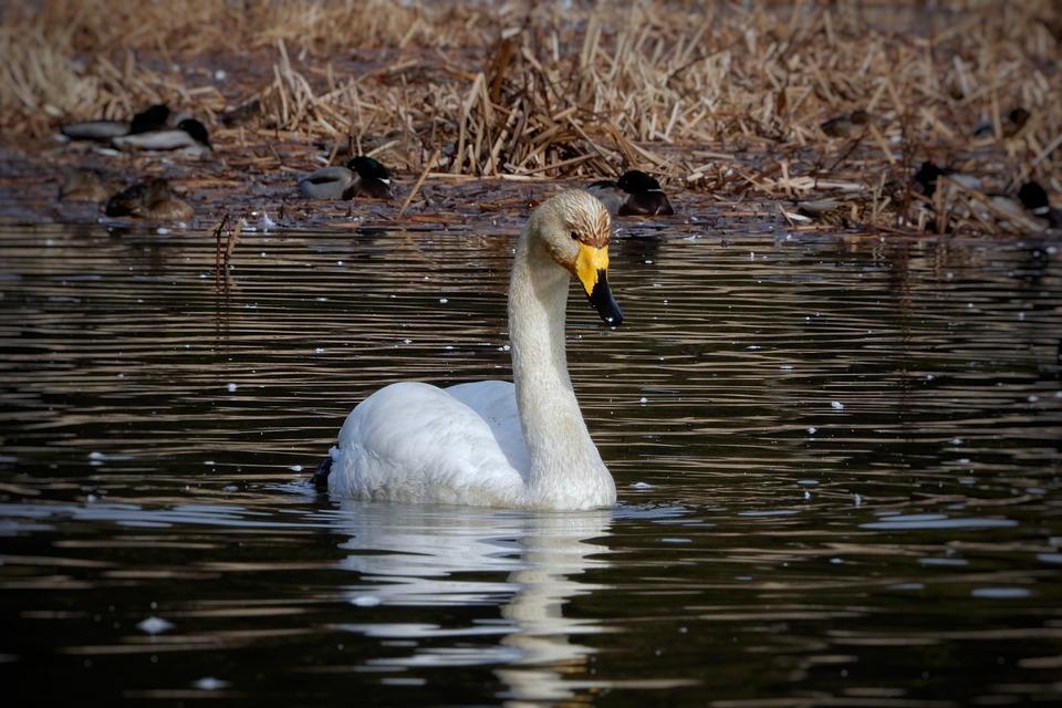 Animal, Swan, Waterfowl, Wild Animal, Natural, Seasonal