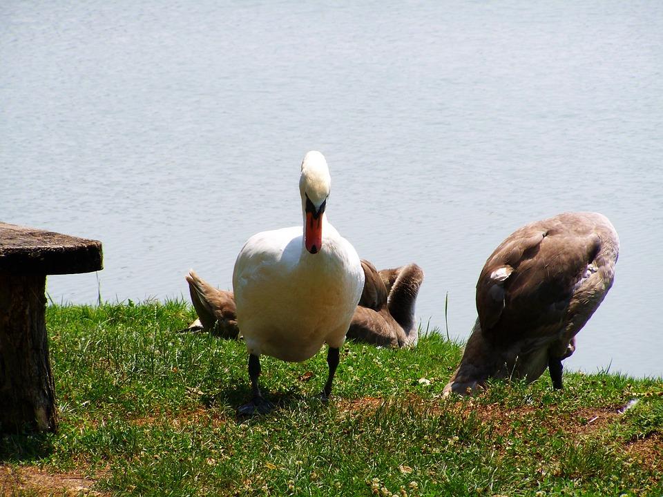 Swan, Mama Swan, Swan Chicks, Waterfowl