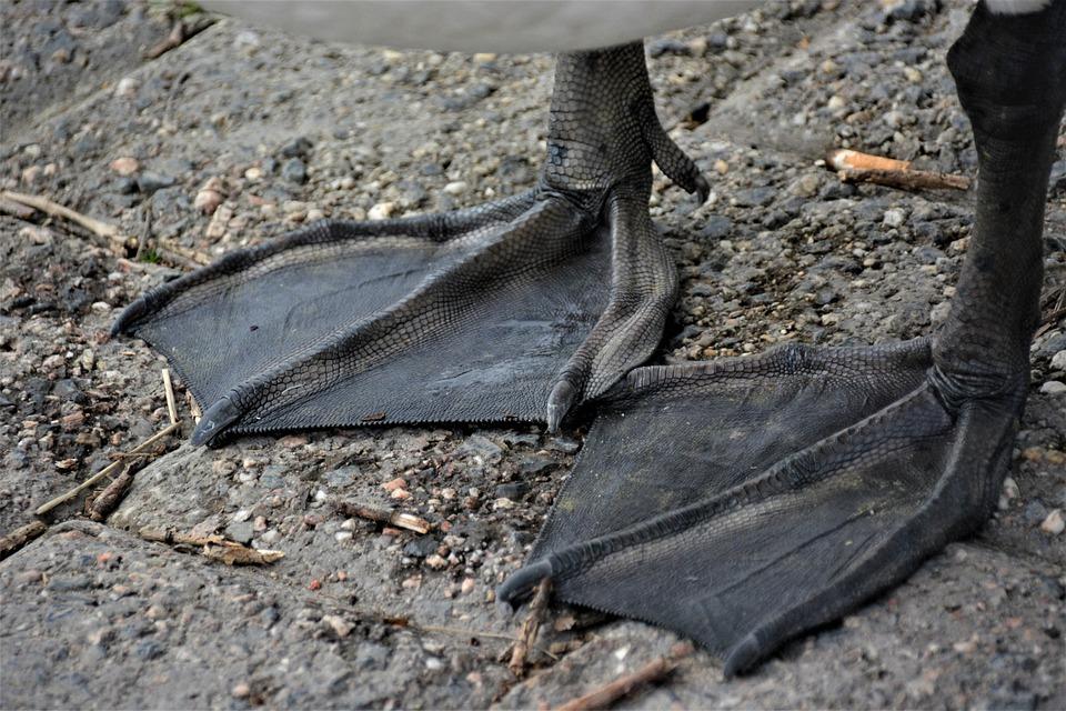 Webbed Feet, Swan, Bird, Feet, Waterfowl, Water Bird