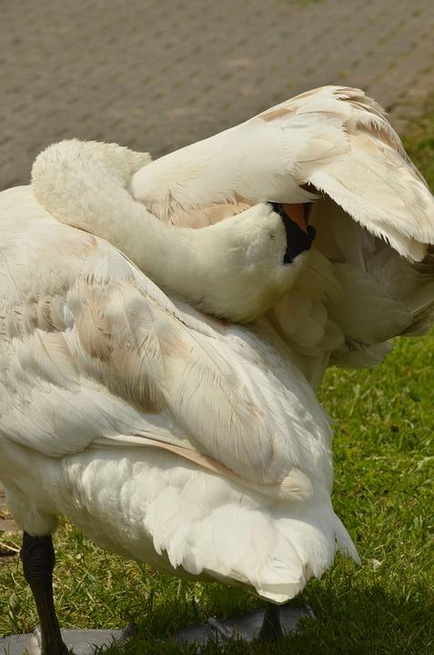 Swan, Bird, Waterfowl, Feathers, White