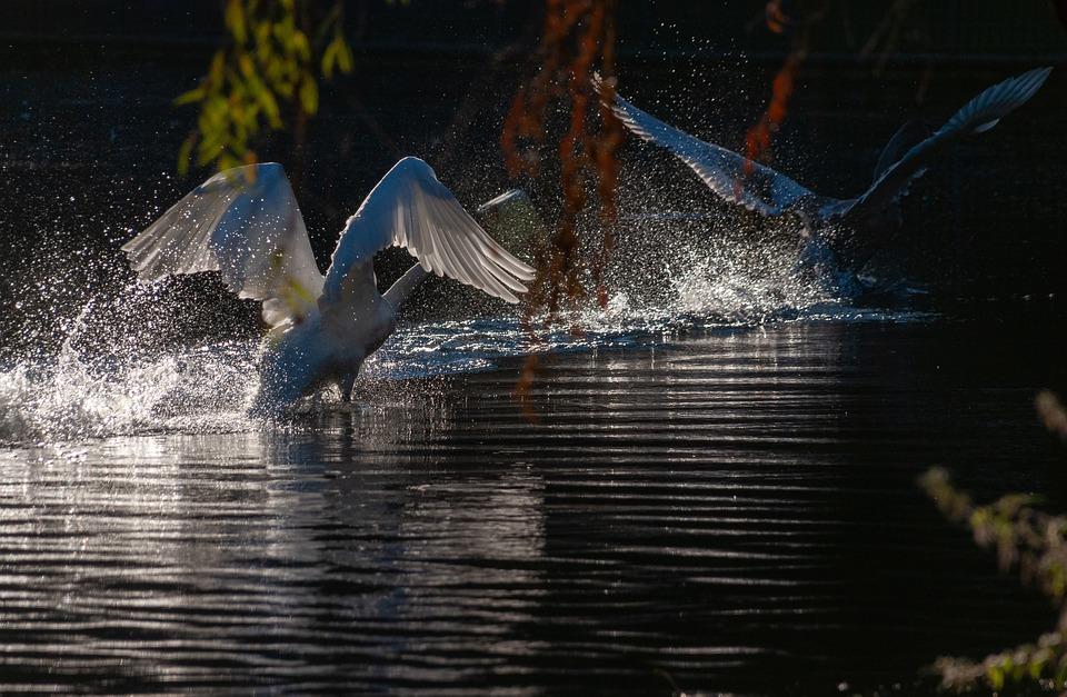 Swans, Birds, Lake, Animals, Waterfowls, Water Birds